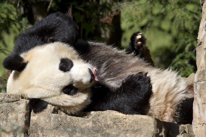 In this Oct. 11, 2012, file photo Mei Xiang, a giant female panda, rests at the National Zoo in Washington. Mei Xiang gave birth to a cub at the Smithsonian's National Zoo 5:32 p.m. EDT on Friday, Aug. 23, 2013. Zoo keepers heard the cub vocalize and glimpsed the cub for the first time briefly immediately after the birth. Mei Xiang picked the cub up immediately and began cradling and caring for it. (AP Photo/Jacquelyn Martin, File)