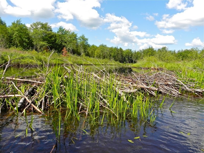 A beaver dam is good for the beavers but can force a turnaround for a canoeist.