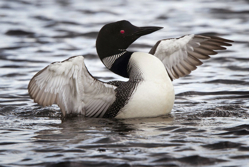 Maine is home to more nesting loons than all other New England states, partly because we have more than 6,000 bodies of water. But Maine also has a dedicated group of volunteers who may not be experts, but have a deep appreciation for the iconic birds.
