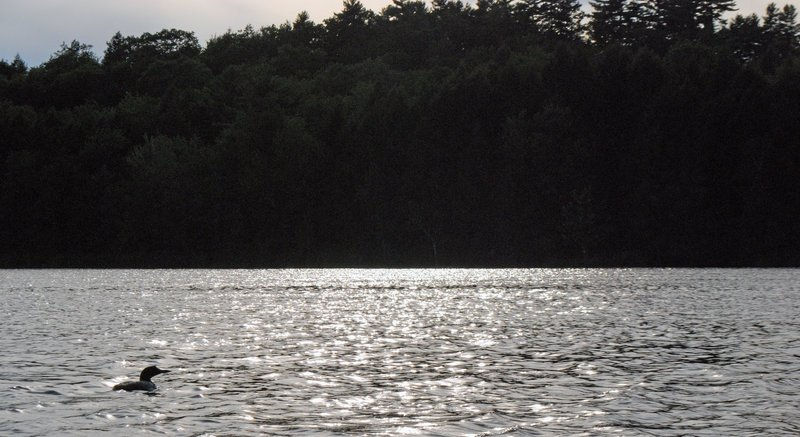 Observers say Maine's loons, noted for their dramatic appearance and haunting cries, seem to be thriving.