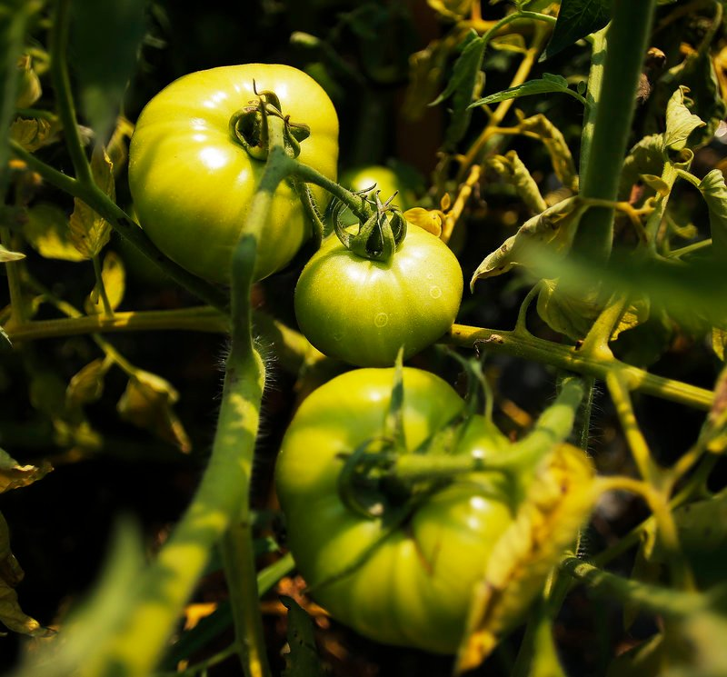 Yet-to-be ripened tomatoes sit on the vine at Alewive Brooks Farm in Cape Elizabeth on Tuesday, August 20, 2013, in preparation for the Portland Farmer's Market on Wednesday.