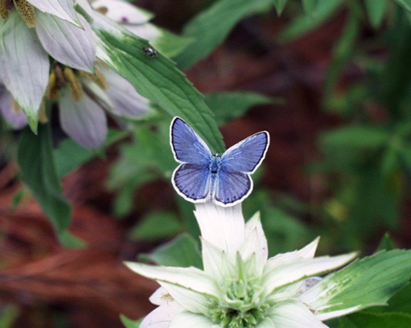 The Karner blue butterfly