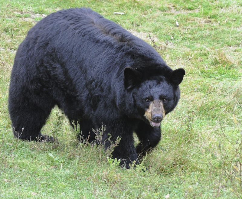 In this October 2012 file photo, a black bears at the Maine Wildlife Park in Gray. The state would see more bear-human conflicts and