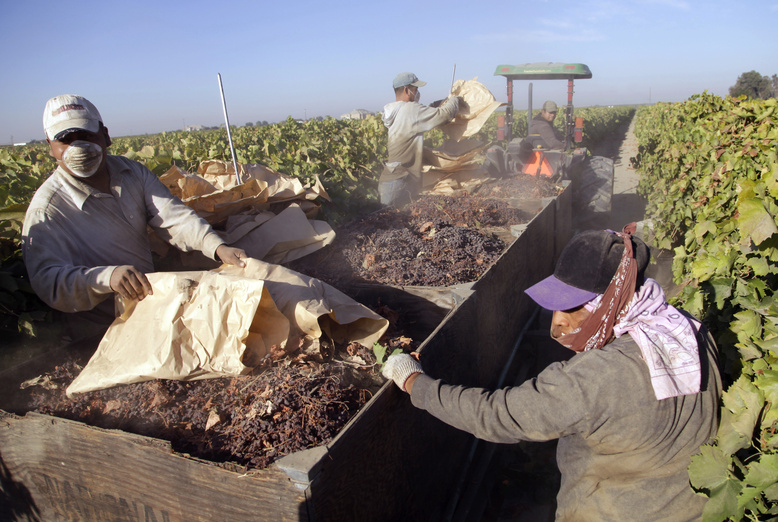 Farmworkers pick paper trays of dried raisins off the ground and heap them onto a trailer in the final step of the raisin harvest this month near Fresno, Calif.