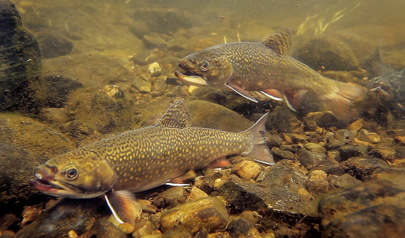 Brook trout pause on the bed of the Roach River, which flows into Moosehead Lake. The Department of Inland Fisheries and Wildlife and Plum Creek land and timber company are working together to enhance the habitat on Intervale Brook, an important tributary of First Roach Pond in Frenchtown Township.