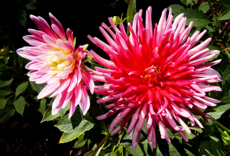 Dahlias can be saved for another year. All you need is one preserved root shoot.