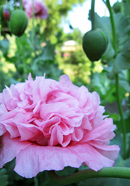 A self-sowing variety of peony. Homeowners who usually get annuals already started each year might find they prefer the reseeding-annual route.
