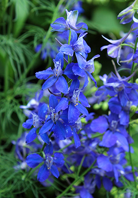 Old House Gardens will be sharing seeds of self-sowing larkspur with its customers.