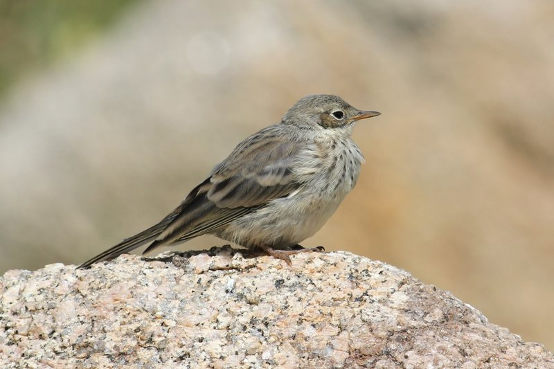 The American Pipit can be seen on a hike up Mt. Katahdin. The species passes through Maine in significant numbers.
