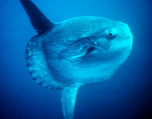 Fishermen are seeing greater numbers of ocean sunfish in Gulf of Maine waters. Sunfish are most often found in warmer water, and prolonged periods spent in water at temperatures of 54 degrees or lower can lead to disorientation and eventual death, experts say.
