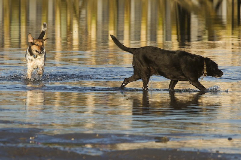 Elvis and Jakey frolic in the surf at Pine Point in Scarborough on Saturday, July 27, 2013. The Scarborough Town Council will decide Oct. 2 whether to ban unleashed dogs from the town's beaches during the spring and summer.