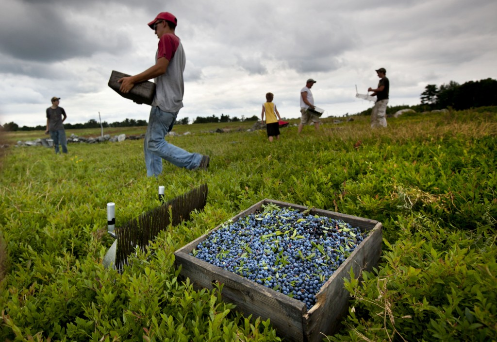 Workers harvest wild blueberries at the Ridgeberry Farm in Appleton. Maine's wild blueberry growers for the most part escaped widespread damage from a harmful new fruit fly during the 2013 summer harvest.