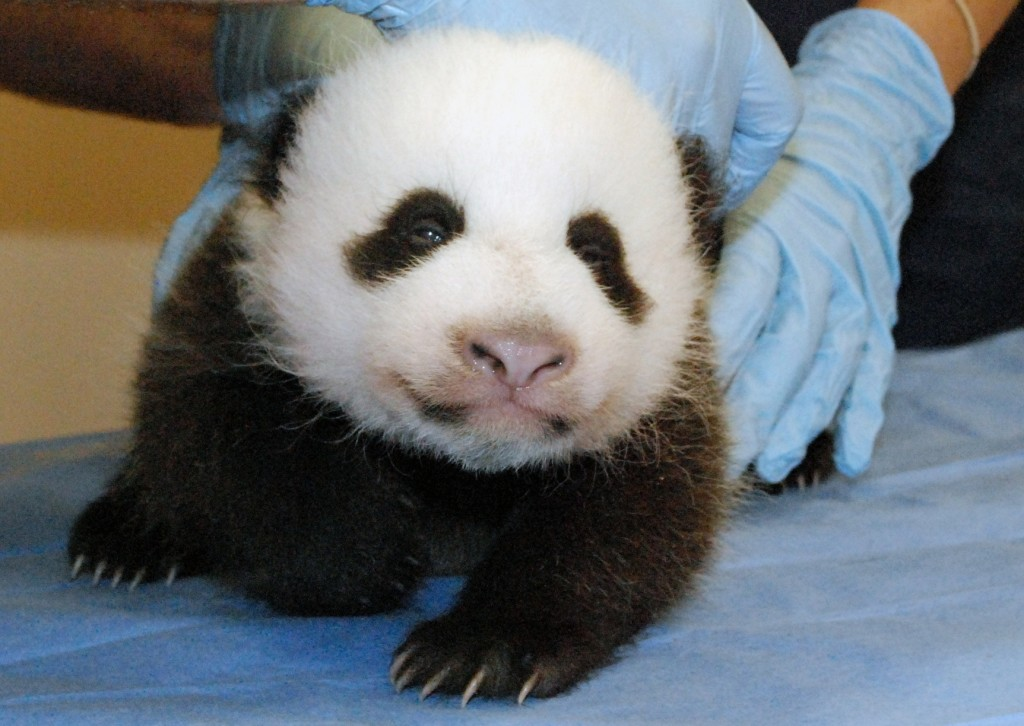 A photo provided by the Smithsonian's National Zoo shows Mei Xiang's giant panda cub undergoing an exam on Oct. 11.