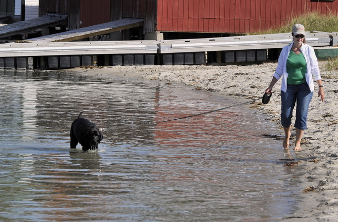 Jane Forner of Saratoga, N.Y., walks Ebony on Ferry Beach in Scarborough on Friday. While a new leash law took effect Thursday, it won't be enforced for the time being.