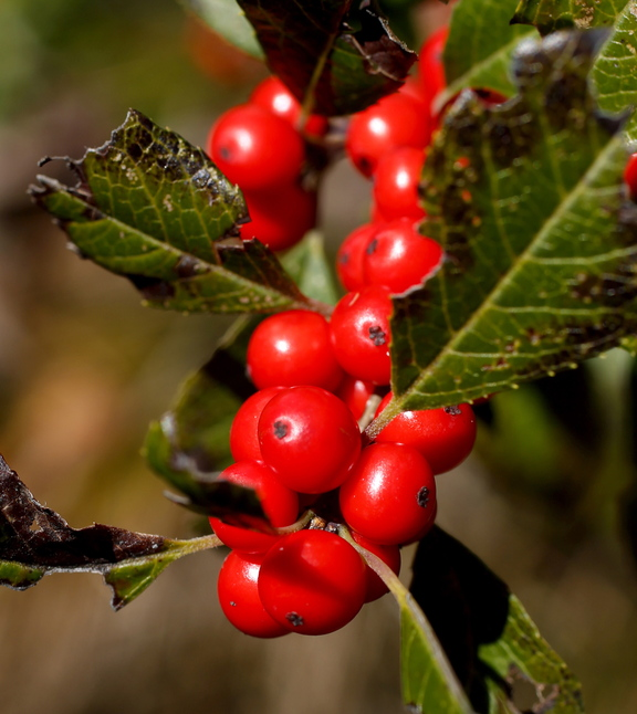 Winterberries range from Maine to Georgia, and aside from being pretty, they're indicative of a healthy ecosystem.