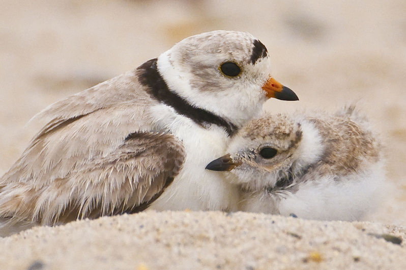 An adult plover stands close by a nesting plover chick.