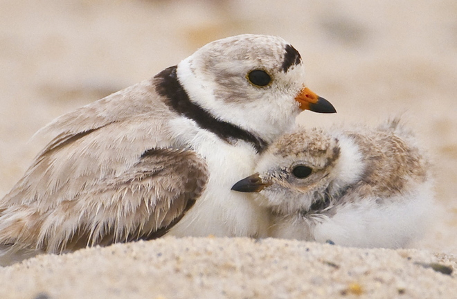 An adult piping plover stands close by a nesting chick. A Scarborough law to protect the birds overreaches, a reader says.