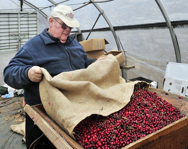 David Popp fills an antique cranberry sorter with organic cranberries harvested from one of his bogs on his farm in Dresden. He plans to sell them in 25-pound boxes to local markets. He refused to harvest his non-organic cranberries because of the low price.