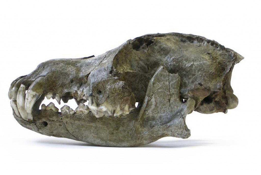 A lateral view of a Pleistocene wolf skull from a cave in Belgium dated to be 26,000 years old.