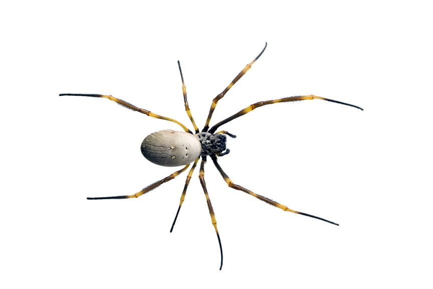 Nursey web spider