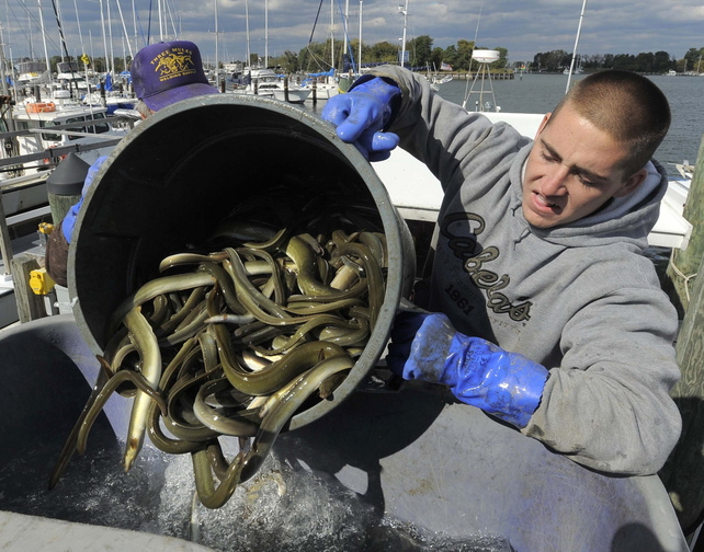 Jake Walker helps move some of the 450 pounds of eels that were caught Oct. 24.