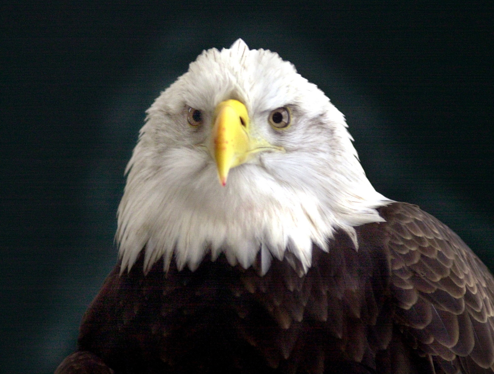This bald eagle is cared for at Chewonki Foundation in Wiscassett. Maine Audubon says its recent report seeks to limit the impact of turbines on wildlife.