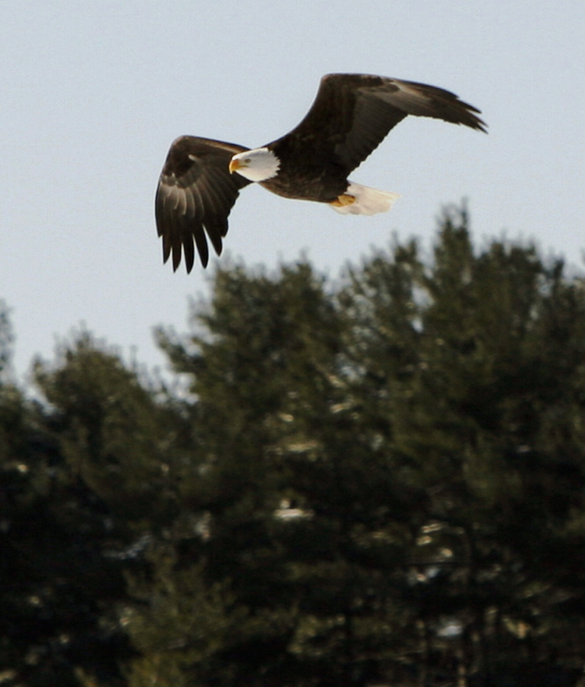 """A bald eagle keeps a watchful eye as it hunts prey while soaring above the Kennebec River in Dresden. Friends of Maine's Mountains calls turbines """"bird-killing machines."""""""