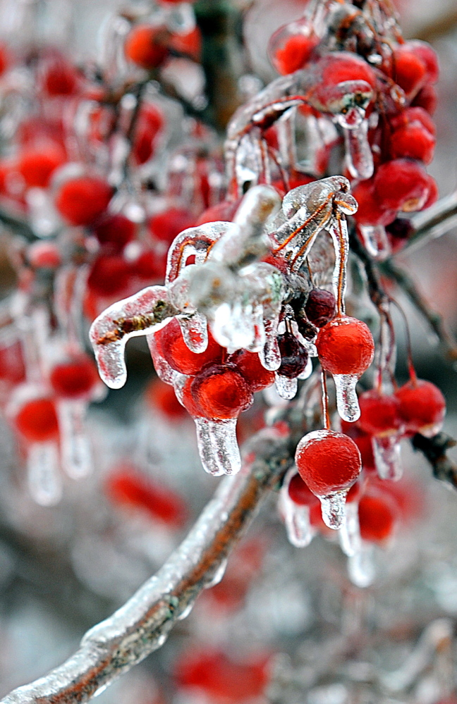Cherries are iced over on the campus of Bates College in Lewiston on Sunday. Central Maine saw more ice buildup than coastal areas did during the day on Sunday.