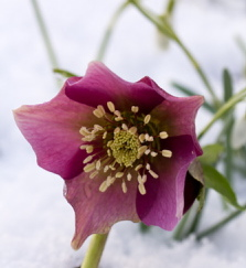 Hellebores offer roses in the snow.