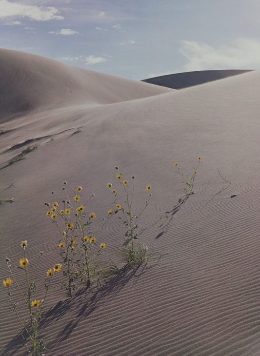 """""""Sunflower and Sand Dune"""" by Eliot Porter"""