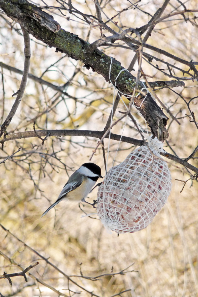 A black-capped chickadee tucks in at a suet holder hanging from a tree.
