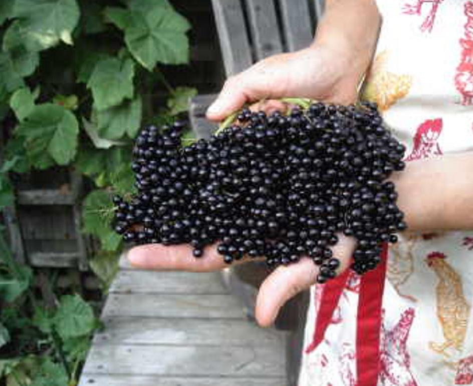 Elderberry fruit.