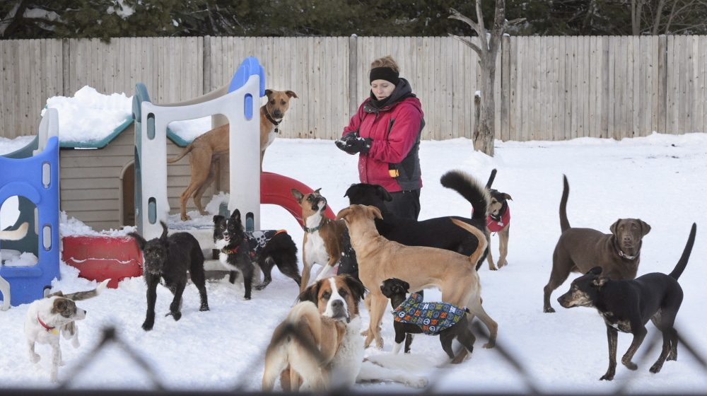 Assistant manager Melinda Larson tries to keep order during an exercise period last month at The Doggie Cottage day-care business in Scarborough.