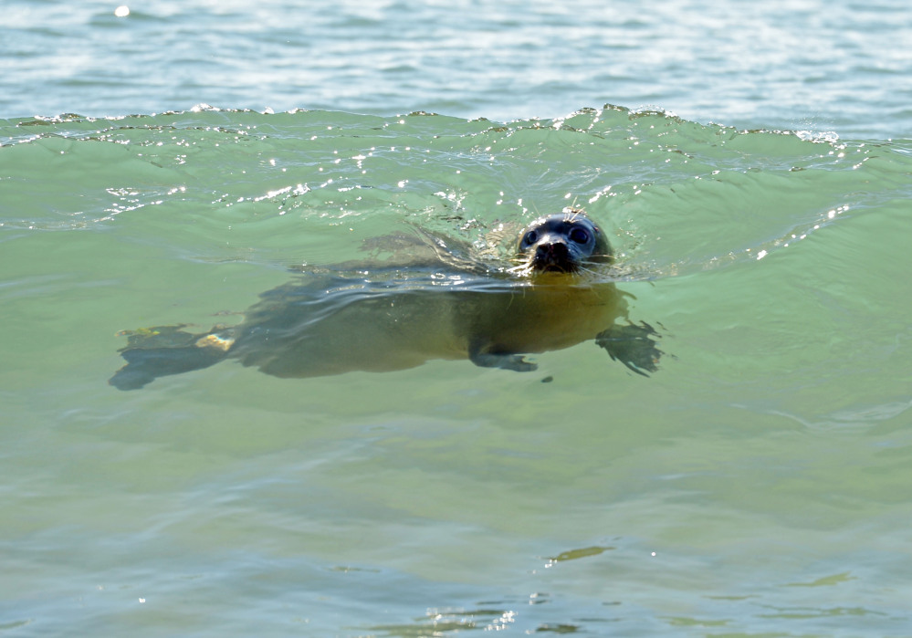 Carson, a female harbor seal pup rescued last summer off Kennebunkport, swims off Blue Shutters Beach after being released Friday in Charlestown, R.I.