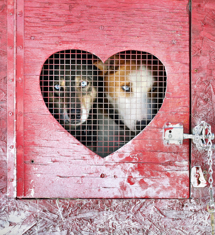 Erie, left, and Teague, Alaskan huskies owned by Mark Turner of Jay, rest in their box before competing in the six-dog speed class on Sunday at Five Fields Farm.