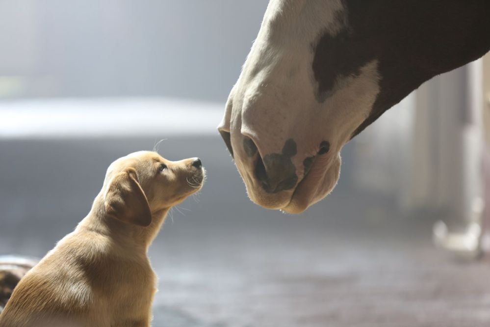 """This undated frame grab provided by Anheuser-Busch shows the company's 2014 Super Bowl commercial entitled """"Puppy Love."""" The ad will run in the fourth quarter of the game."""