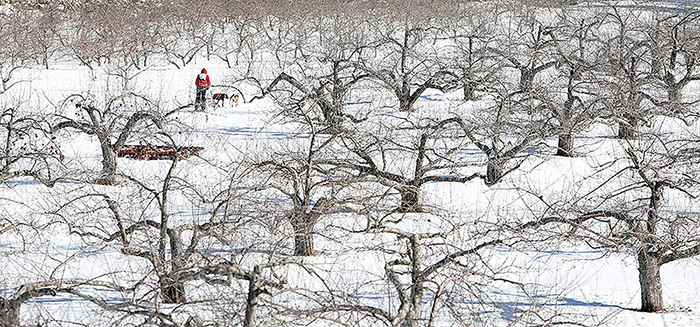 """Josh Quist of Caribou is seen through apple trees as he competes in the four-dog speed class on Sunday at Five Fields Farm in Bridgton. The course, one of a handful in Maine, is technically challenging with """"a lot of twists and turns,"""" said race marshal George Miller of Hampden."""