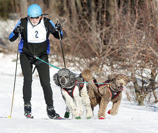 Geoff Shallard of Yarmouth is pulled by his standard poodles Piper, left, and Zoey. They completed the Five Fields course in a half-hour.