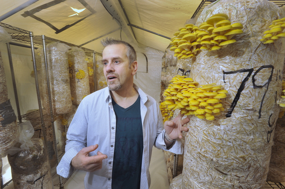 Bountiful Mushrooms Farm's Scott Payson shows some golden oyster mushrooms growing in a warm and humid tent at the facility. Tuesday, January, 21, 2014. John Ewing/staff Photographer.