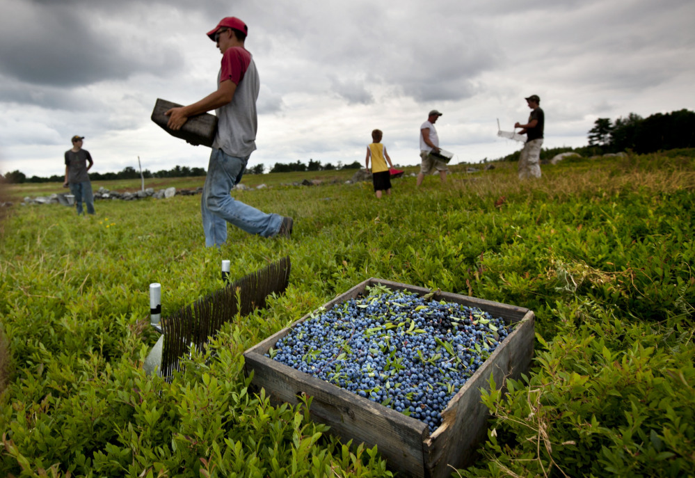 Workers harvest wild blueberries at a farm in Appleton in 2012. Despite the resurgence of local farms over the last decade or so, only a very small percentage of the food consumed in Maine is grown here.