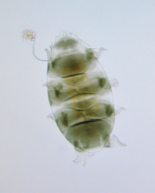 This tardigrade, seen Thursday at Unity College, is equipped with an armor shell and green tint from its herbivore diet.