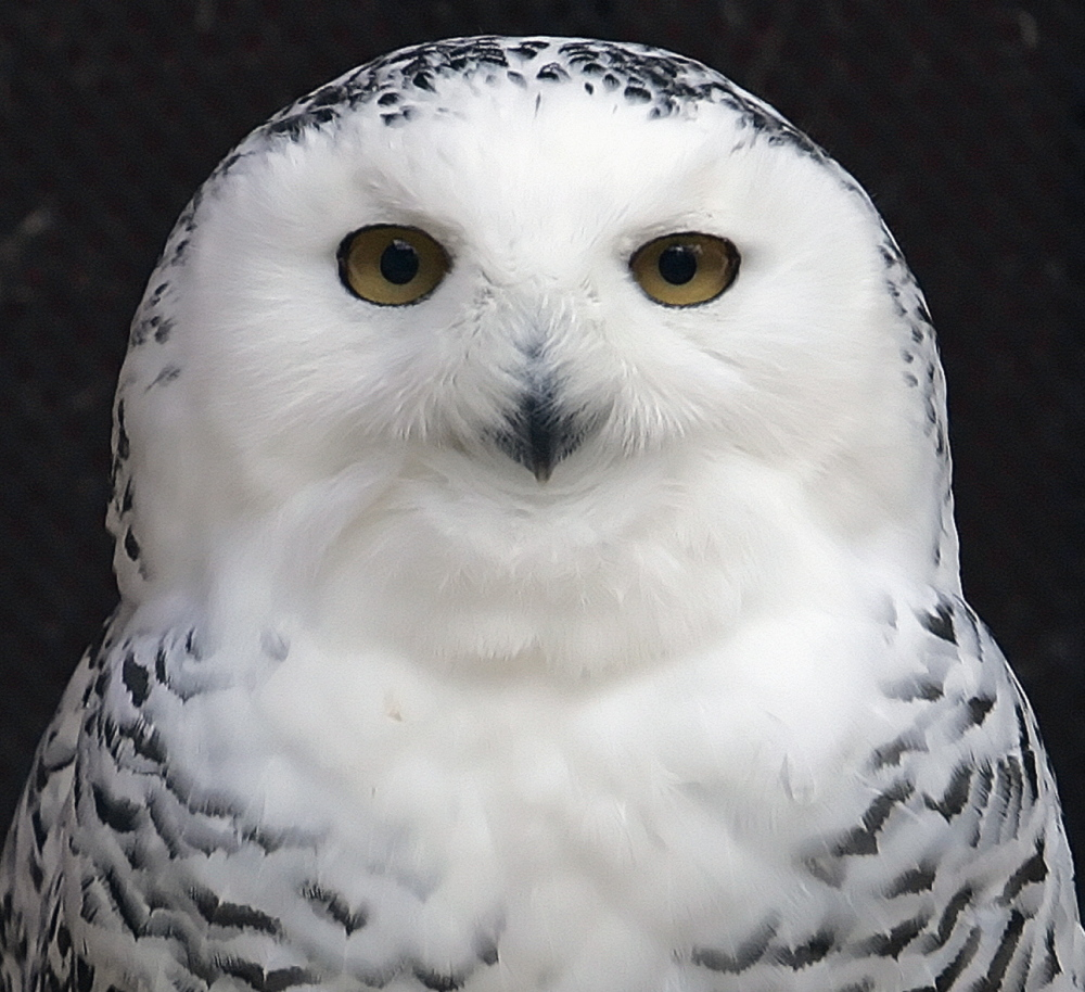 A snowy owl peers from her enclosure at a bird sanctuary in New York City. Thousands of bird reports indicated the owls have now spread to 25 states.