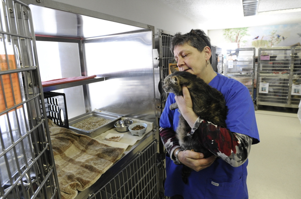 Small-animal specialist Michelle Jackson tends to Izzy, one of 70 cats housed at the Animal Refuge League of Greater Portland in Westbrook.