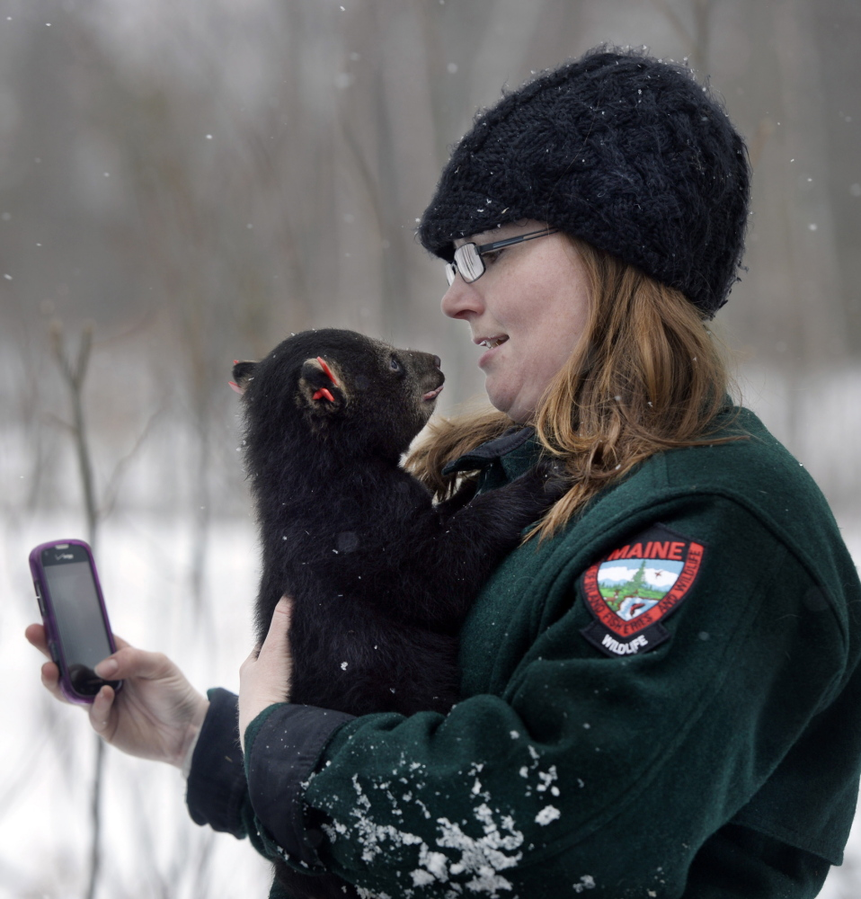 Amanda DeMusz, a biologist with the Department of Inland Fisheries and Wildlife, enjoys a moment with a bear cub during a visit to bear dens in the woods of Aroostook County earlier this month.