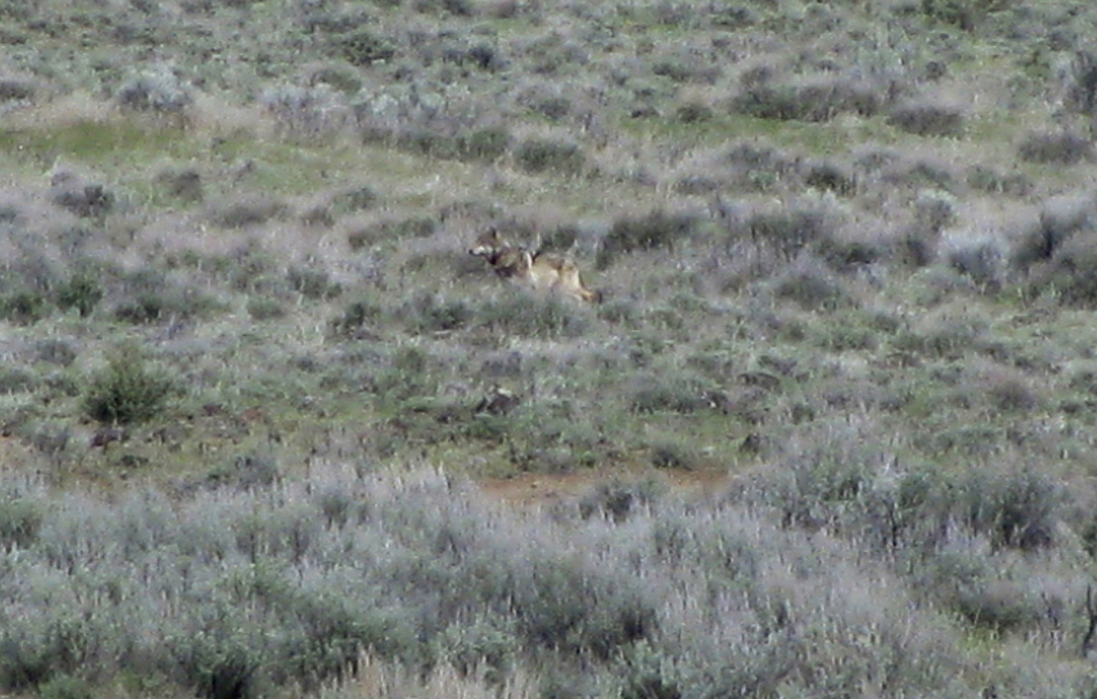 This May 8, 2012, photo provided by the California Department of Fish and Game shows OR-7, the Oregon wolf that trekked across two states looking for a mate, on a sagebrush hillside in Modoc County, Calif.