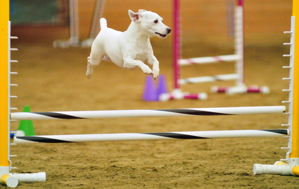 Dixie flies over a hurdle during a dog agility contest Saturday in West Gardiner. Owners had to run their dogs through tunnels and over hurdles on the course as quickly as possible.