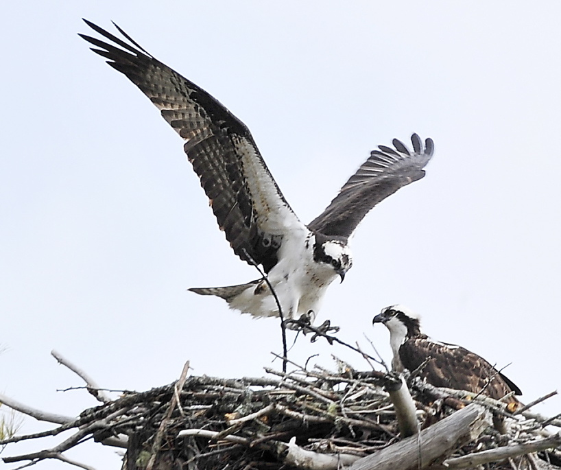A male osprey wings back to the nest with another twig where his mate awaits as they build a nest in the salt marsh at Wolfe's Neck Woods State Park in Freeport. Ospreys spend the winter in South America before flying back to Maine.