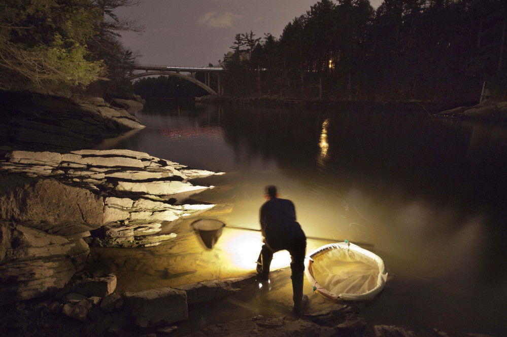 Bruce Steeves uses a lantern to look for young eels known as elvers on a river in southern Maine. The state's elver season is off to a slow start, with the catch only around half of what it was last year. State regulators say a resurgence in foreign markets may have cut back demand for Maine's baby eels.
