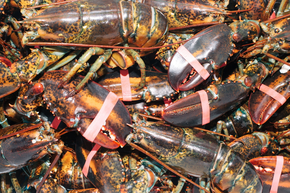Lobsters in a cooler at the Potts Harbor Lobster booth.