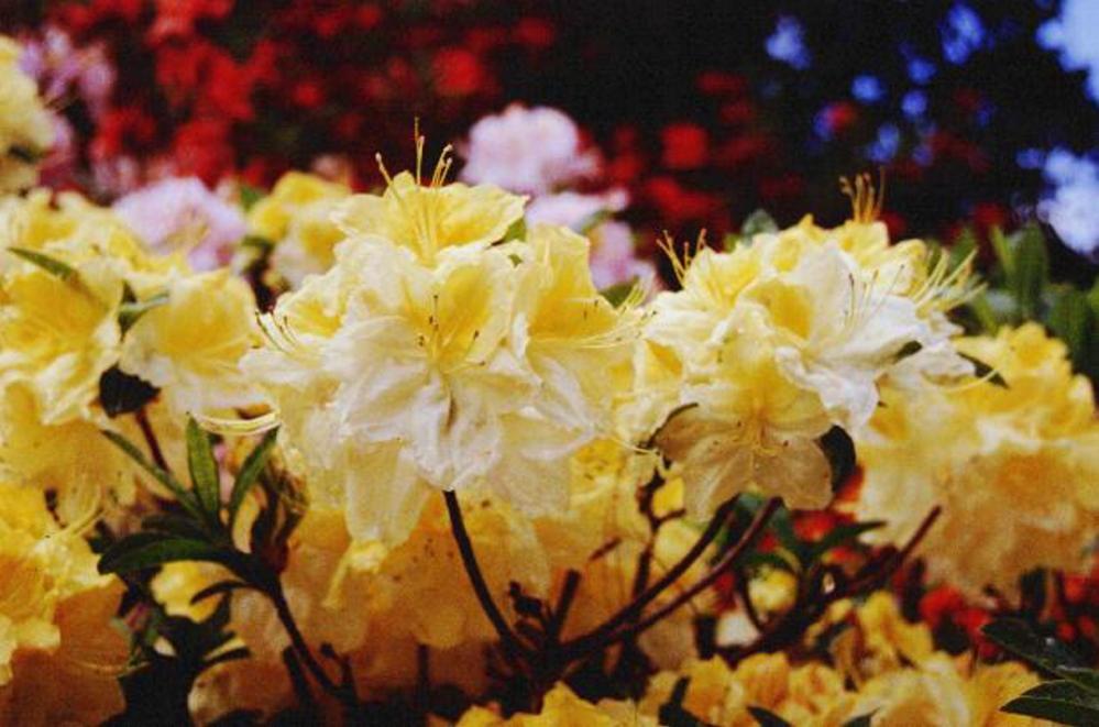 Exbury azaleas come in brilliant colors